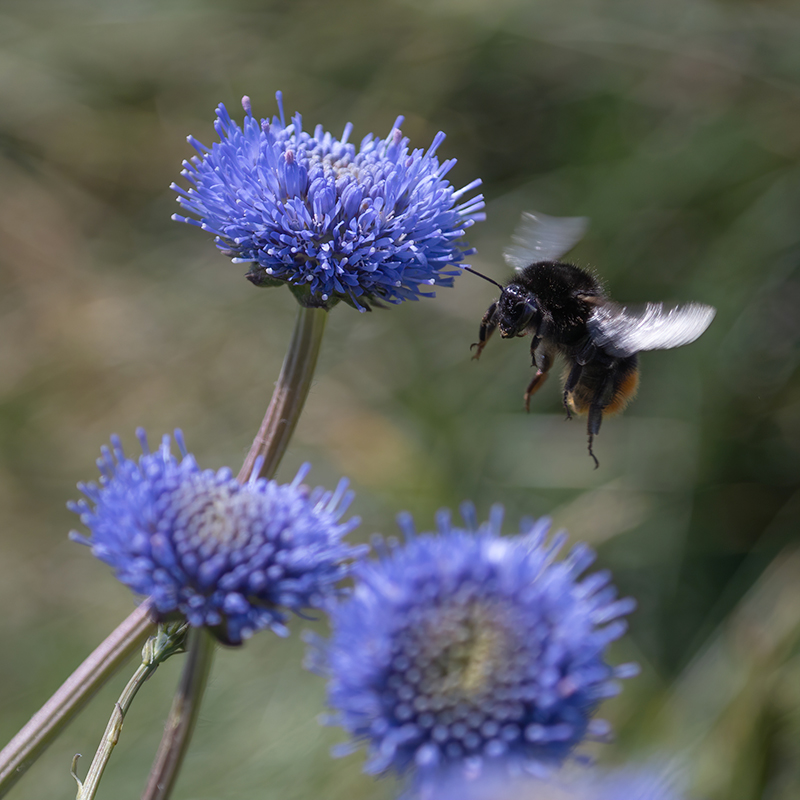 Red-tailed Bumble Bee on Scabious (1 of 1) (368K)